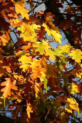 Autumn Leaves (5)